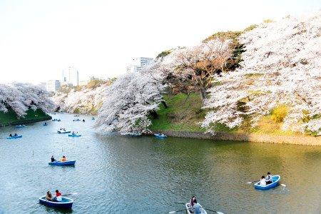 「千鳥ケ淵緑道」から見る満開の桜は圧巻の迫力!