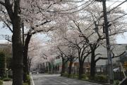 大泉学園通りの桜並木