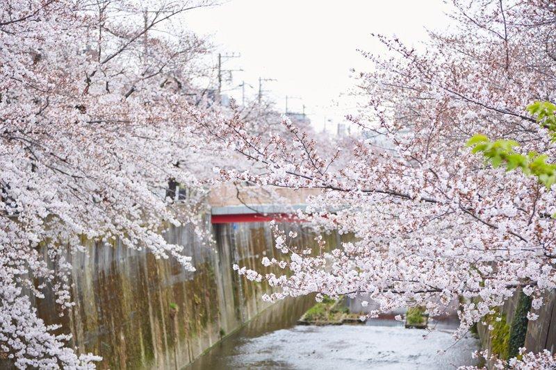 石神井川と桜